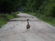 Canadian Goose on Path